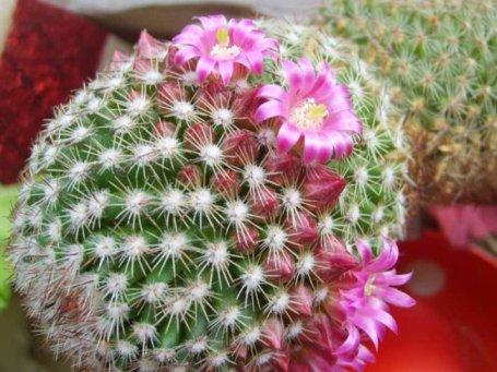 kak-peresazhivat-kaktusy-qwesa.ru-01