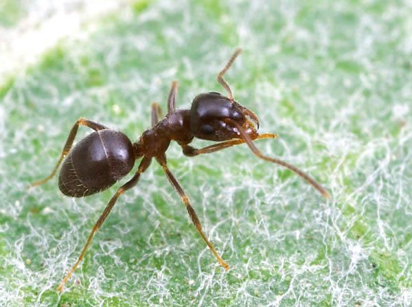 Как избавиться от муравьев дешево и естественно
