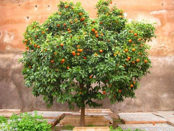 Как вырастить апельсиновое дерево с семечки