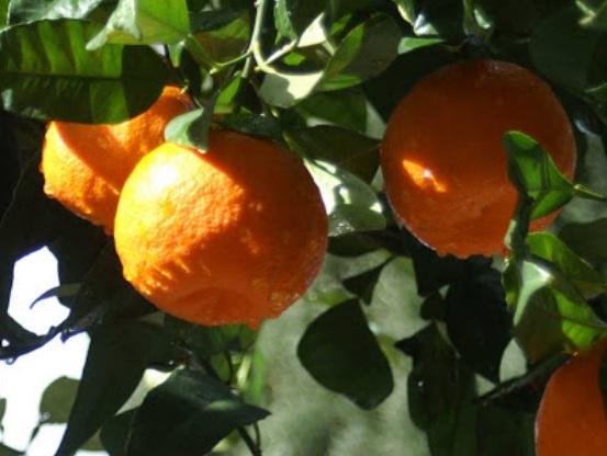 kak-vyrastit-apelsinovoe-derevo-s-semechki-qwesa.ru-04